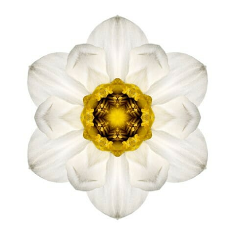 White and Yellow Daffodil I