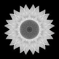Yellow Sunflower IX (b&w, black)