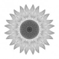 Yellow Sunflower IX (b&w, white)