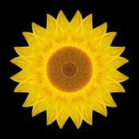 Yellow Sunflower IX (color, black)