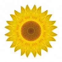 Yellow Sunflower IX (color, white)