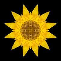 Yellow Sunflower X (color, black)