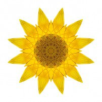 Yellow Sunflower X (color, white)