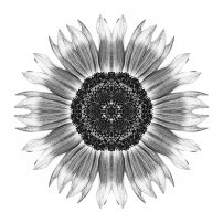 Yellow and Brown Sunflower I (b&w, white)