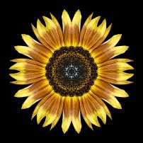 Yellow and Brown Sunflower I (color, black)