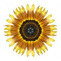 Yellow and Brown Sunflower I (color, white)