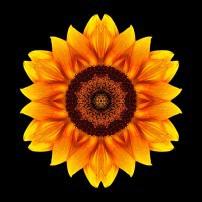 Yellow and Orange Sunflower VI (color, black)