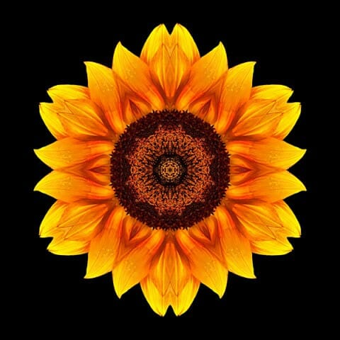 Yellow and Orange Sunflower VI
