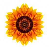 Yellow and Orange Sunflower VI (color, white)