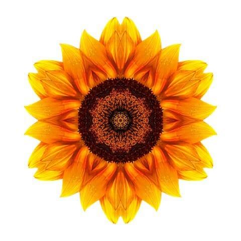 Yellow and Orange Sunflower VI